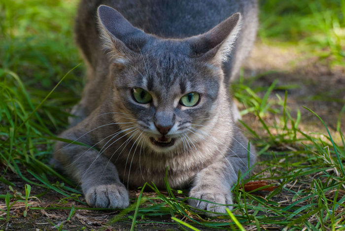 Green Green Green!  Amazing Eyes Angry Expression Color Game Domestic Cat Grass My Pet Wild Cat