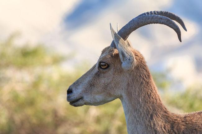 Animal Animal Themes Animals In The Wild Arid Climate Horned Ibex Israel Mammal One Animal Sde Boker Wildlife