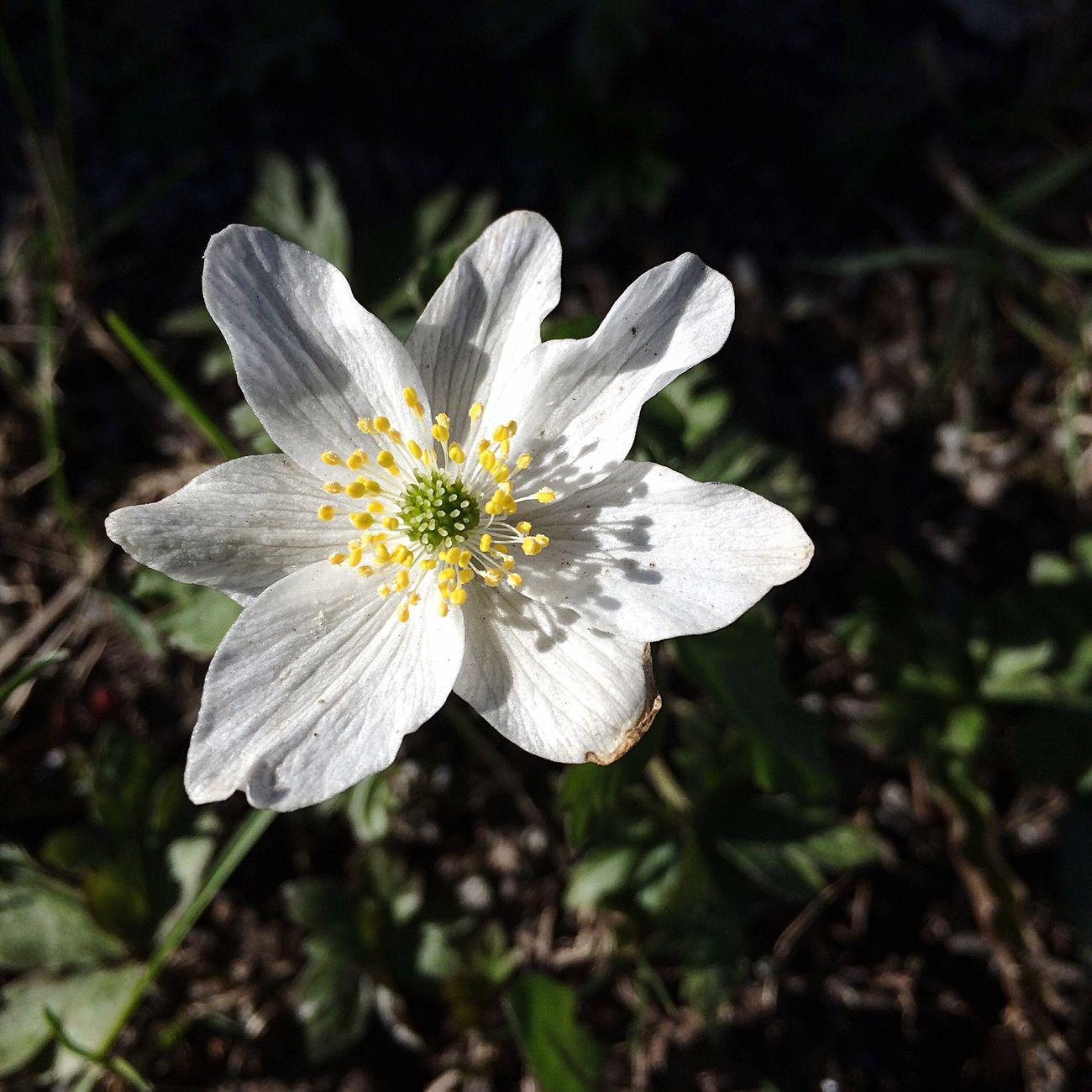 White Anemone Anemone Nemorosa Wood Anemone Spring Spring Flowers Nature Photography Nature Naturelovers