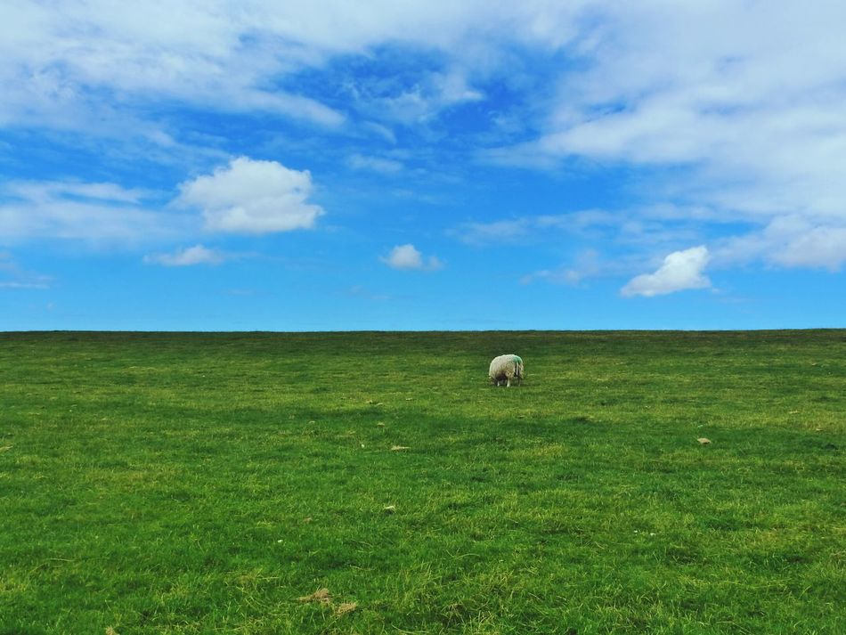 Kopflos am Deich lang ... Dike Bank LeVee Sheep🐑 Abandoned Abandoned Places Sheep Grazing Headless Blue Sky White Clouds Blue And Green North Germany Sylt, Germany Sylt Check This Out Fine Art Photography Wattenmeer Sylt 2016 Fine Art Colors and patterns Pivotal Ideas Enjoy The New Normal My Year My View waiting game Art Is Everywhere The Great Outdoors - 2017 EyeEm Awards