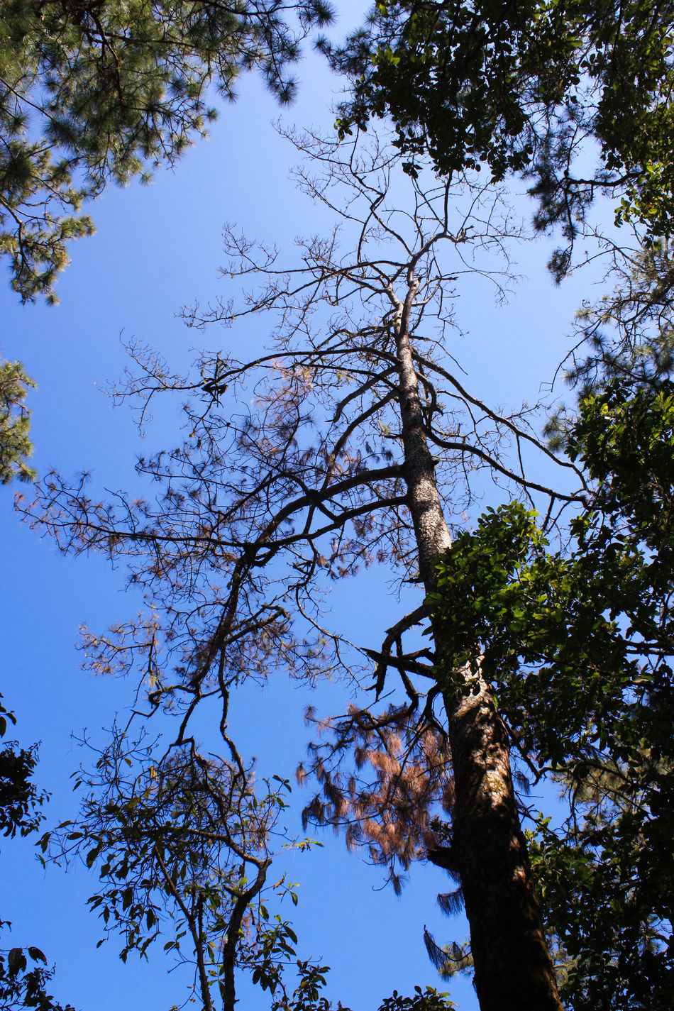 Tree and blue sky Blue Sky Branch Branches Chiang Mai | Thailand Doi Luang Doi Luang, Chiang Dao Hiking Mountains Sky Thailand Tree Trees Trekking