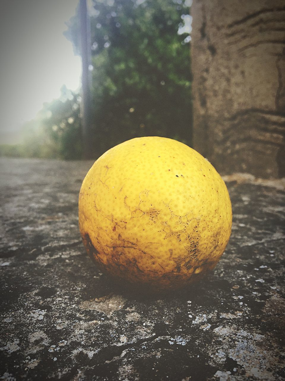 fruit, food and drink, healthy eating, food, yellow, no people, freshness, citrus fruit, close-up, day, tree, outdoors, rotting, nature