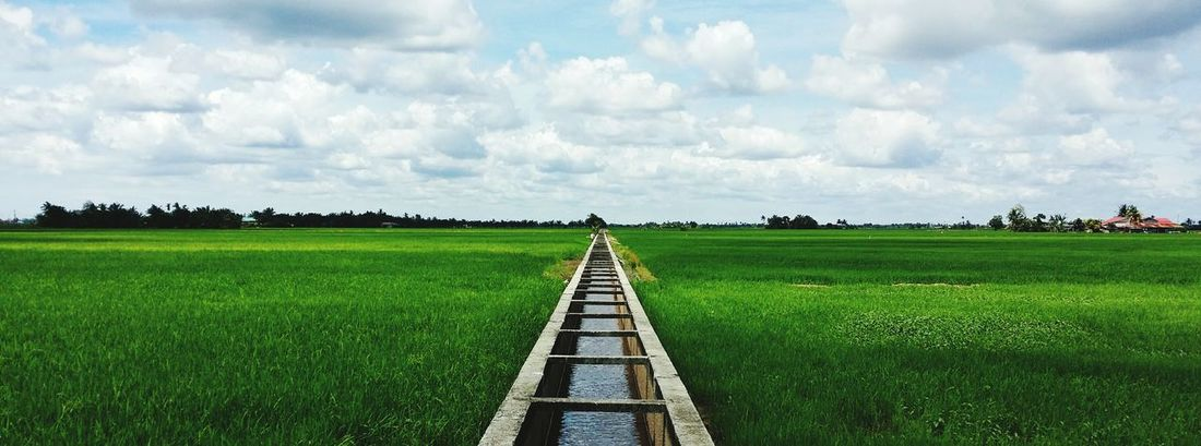 Paddy field. Paddy Field Rice Field Nature Landscape Green Color Rural Scene Lush Foliage Agriculture Crop  Sky Blue Sky Cereal