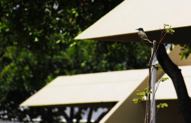 Bird Bird Photography Birds_collection Birds🐦⛅ Bird Espigão Brasildosmeusolhos_ Brasil Brasil ♥ Brasil_brasileiro São Luis São Luís Ma São Luís - MA
