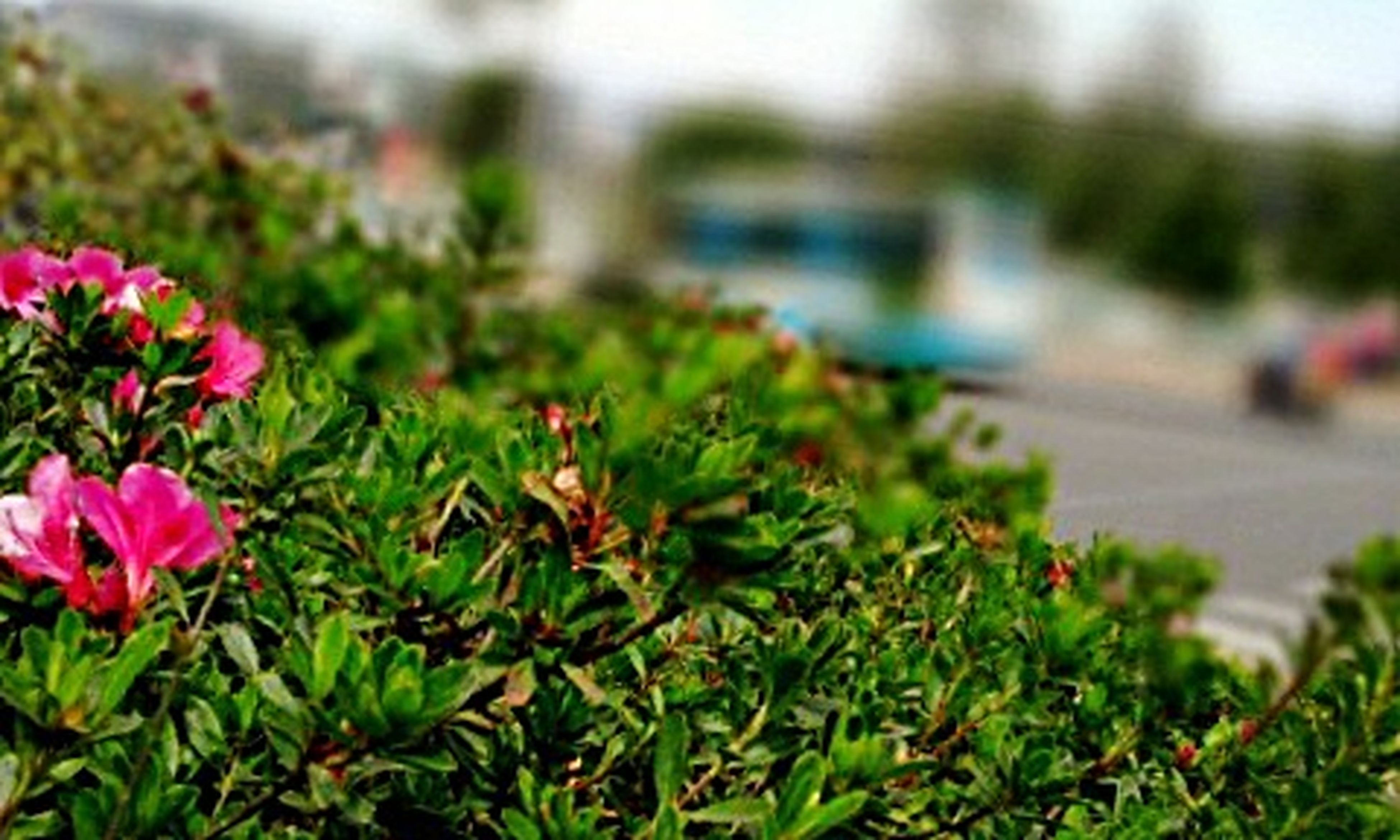 flower, focus on foreground, growth, plant, freshness, fragility, nature, close-up, beauty in nature, selective focus, green color, blooming, leaf, day, petal, outdoors, park - man made space, growing, water, pink color