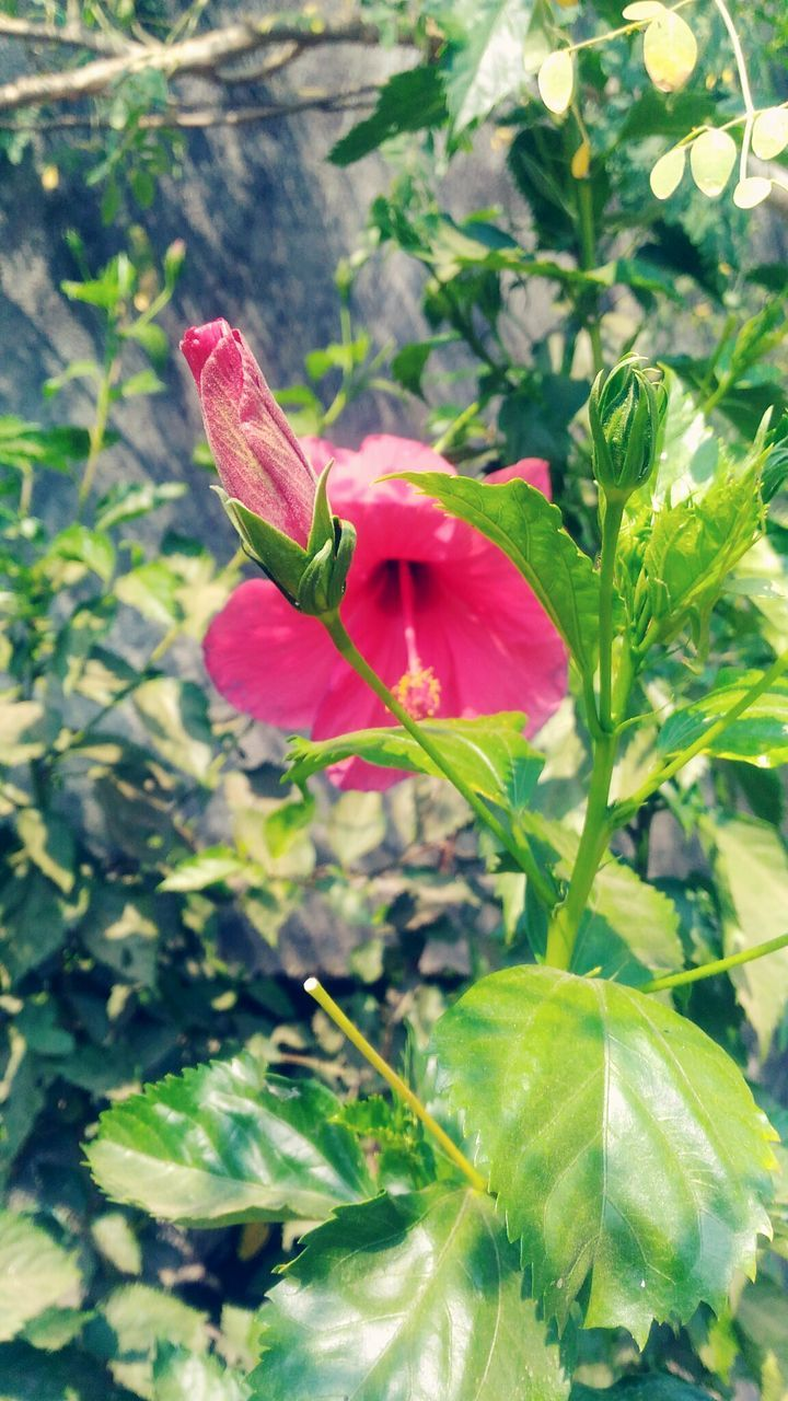 growth, flower, leaf, fragility, plant, petal, nature, beauty in nature, green color, freshness, flower head, red, day, blooming, no people, outdoors, pink color, close-up, hibiscus