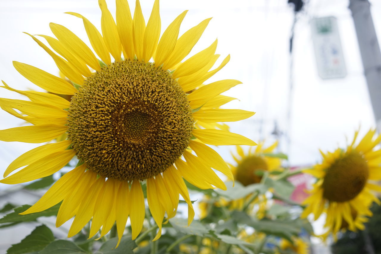 flower, yellow, petal, fragility, beauty in nature, freshness, nature, flower head, growth, close-up, no people, pollen, sunflower, day, plant, outdoors, blooming