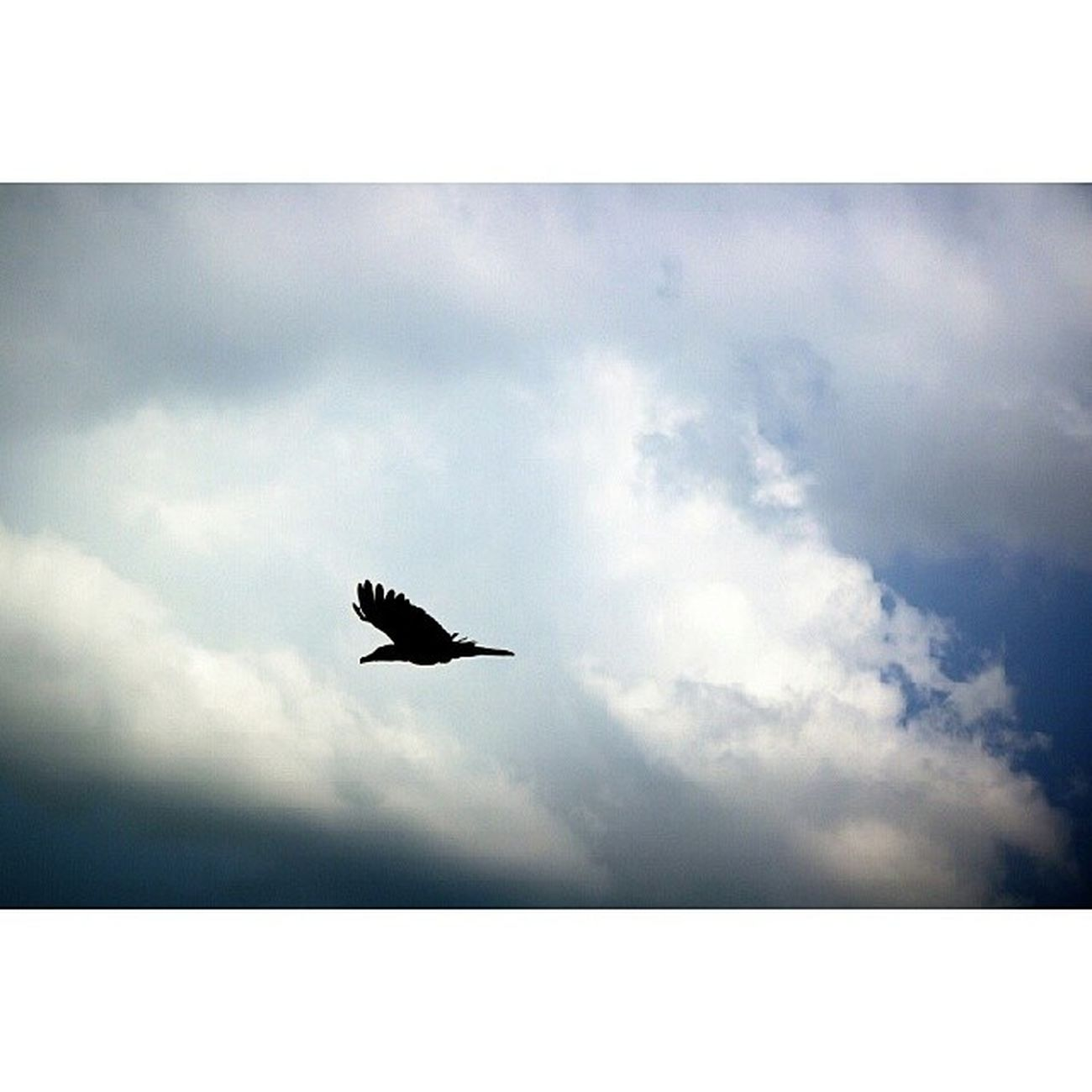 Flying high in the clouds. Bird Ibon Igers Instadaily photooftheday snapseed photography