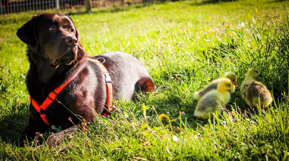 Labrador Grass Outdoors No People Dog Duck aAnimal ThemesNature Pets Baby Spring Sun Chocolate Labrador First Eyeem Photo