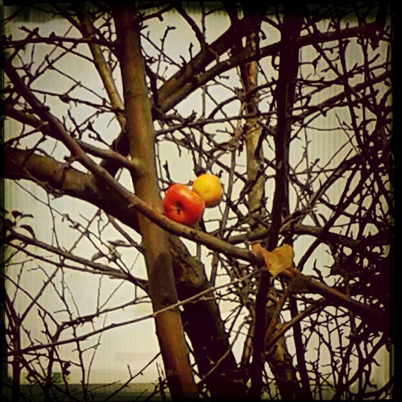 Letzte Äpfel//Herbst//Natur
