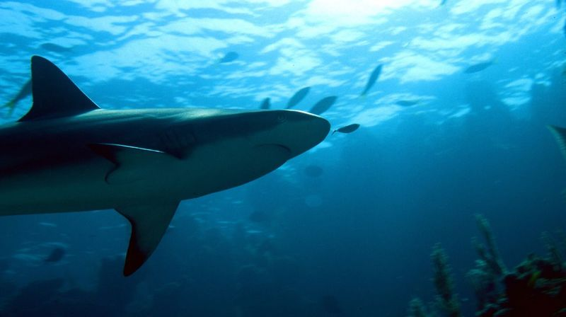 I like shark diving, but it's nothing compared to the emotion you feel when you meet a lonely one unexpectedly... Shark Sharks Bahamas Diving OZ.'s UW