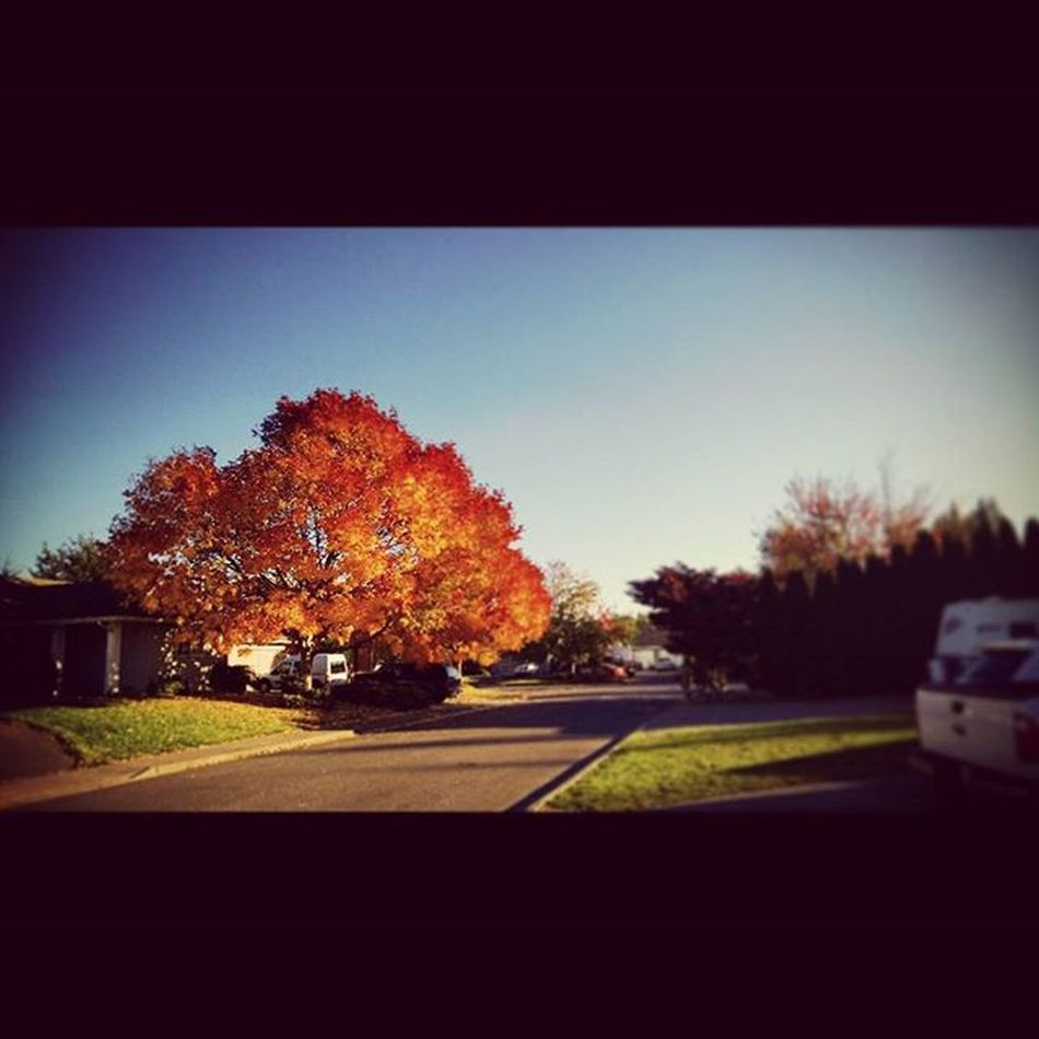 Fire tree. 🌲🔥 Fall Fallcolors Orange Leaves Bluesky Culdesac