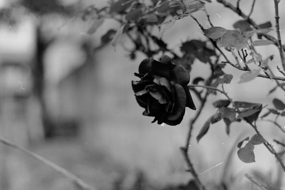 Streetphotography Hello World Taking Photos Light And Shadow Nature Enjoying Life Naturelovers EyeEm Nature Lover Flowers 花 モノクロフィルム Acros100