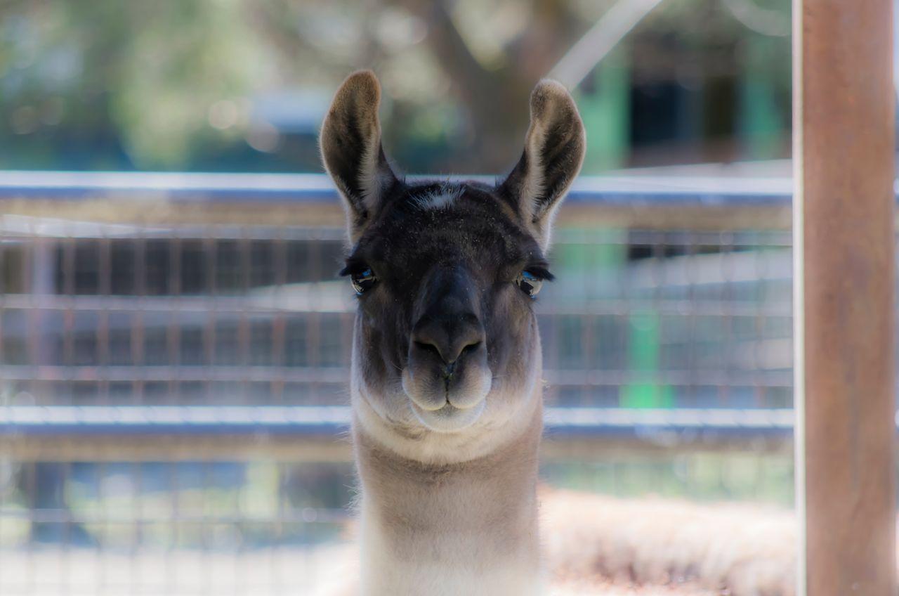 Beautiful stock photos of llama, Animal Head, Animal Themes, Animals In Captivity, Animals In The Wild