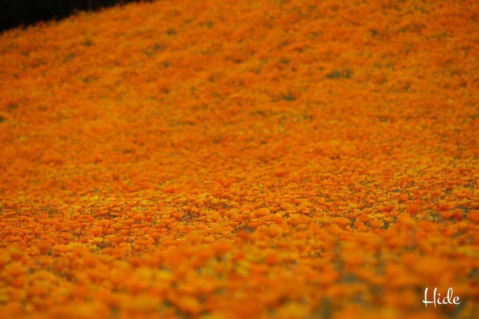 ファーム冨田 富良野 花 Flowers カリフォルニアポピー