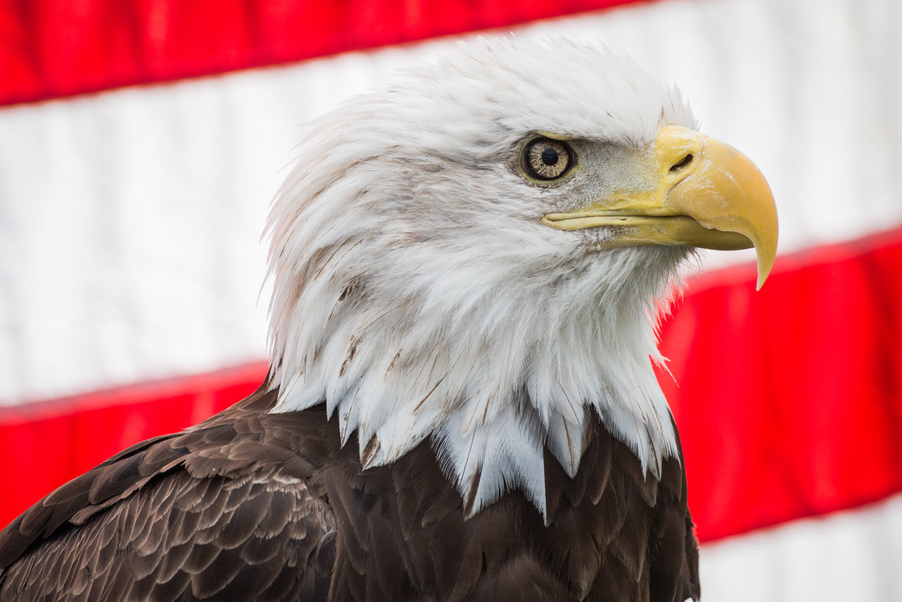 Animal Head  Bird Close-up No People One Animal Wildlife Birds Of Prey Bald Eagle With The American Flag Bald Eagle American Flag Jordan Confino Photography