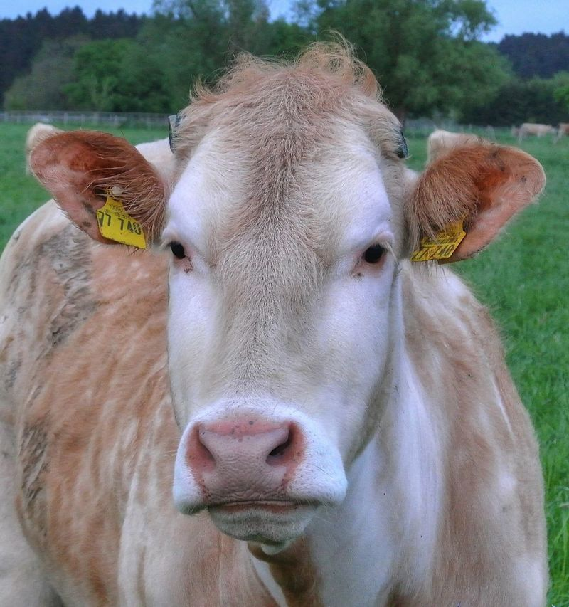 Cow Cowlover Cowportrait Animal Photography Animal_collection Animal Portrait Nature On Your Doorstep Animals Posing