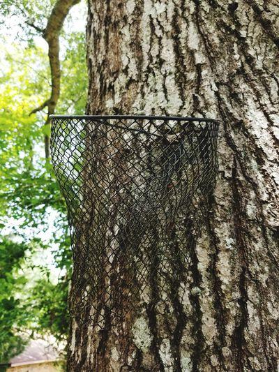 Wire Basket Grew Into Tree