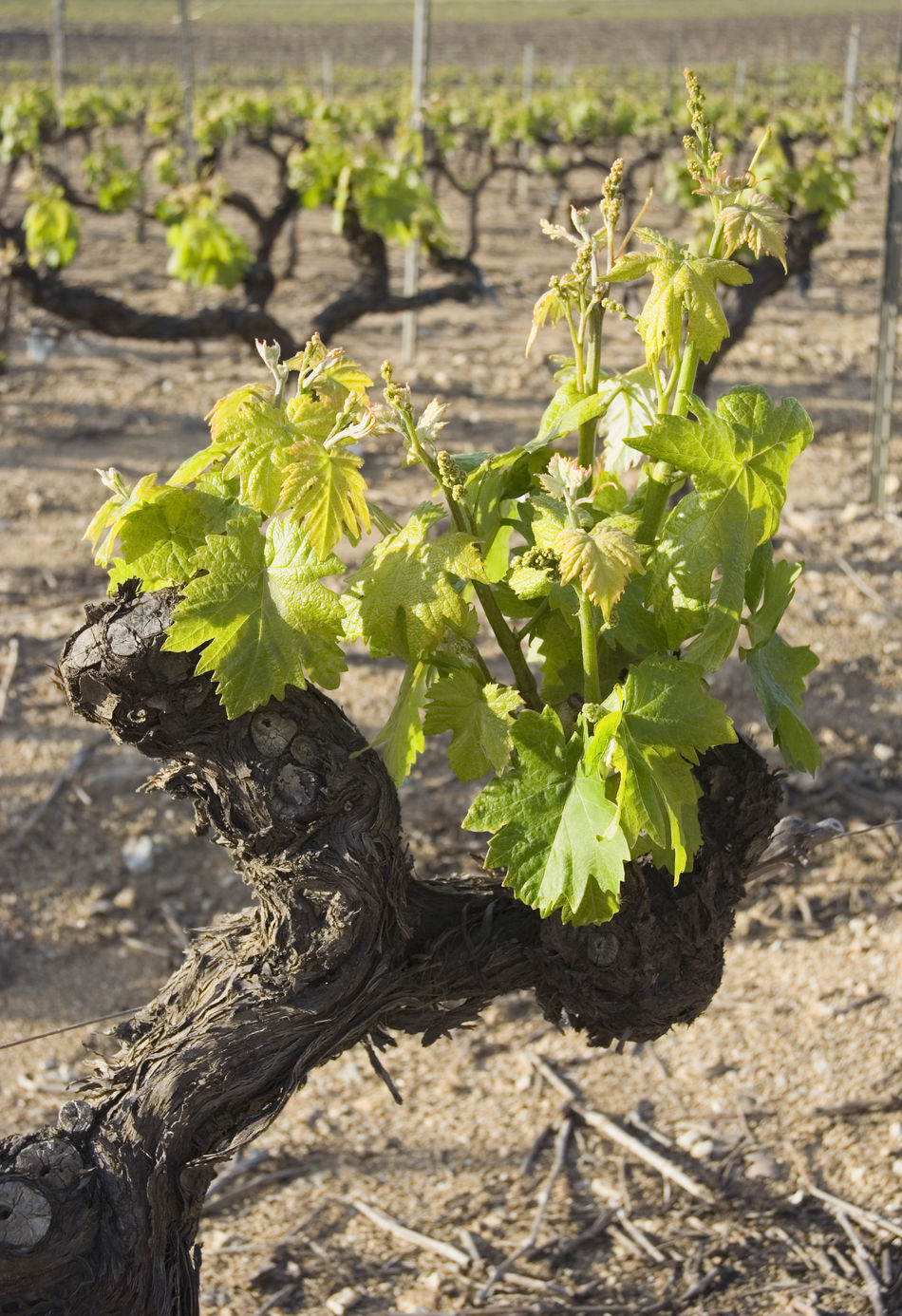 closeup of a grapevine - french riviera Agriculture Beginnings Close-up Cultivated Land France Freshness Gnarled Grape Grapevine Growing Growth Leaf New Life No People Provence Scion  Spring Springtime Sprouts Terroir Vine Vineyard Viticulture Vitis Vinifera Wine