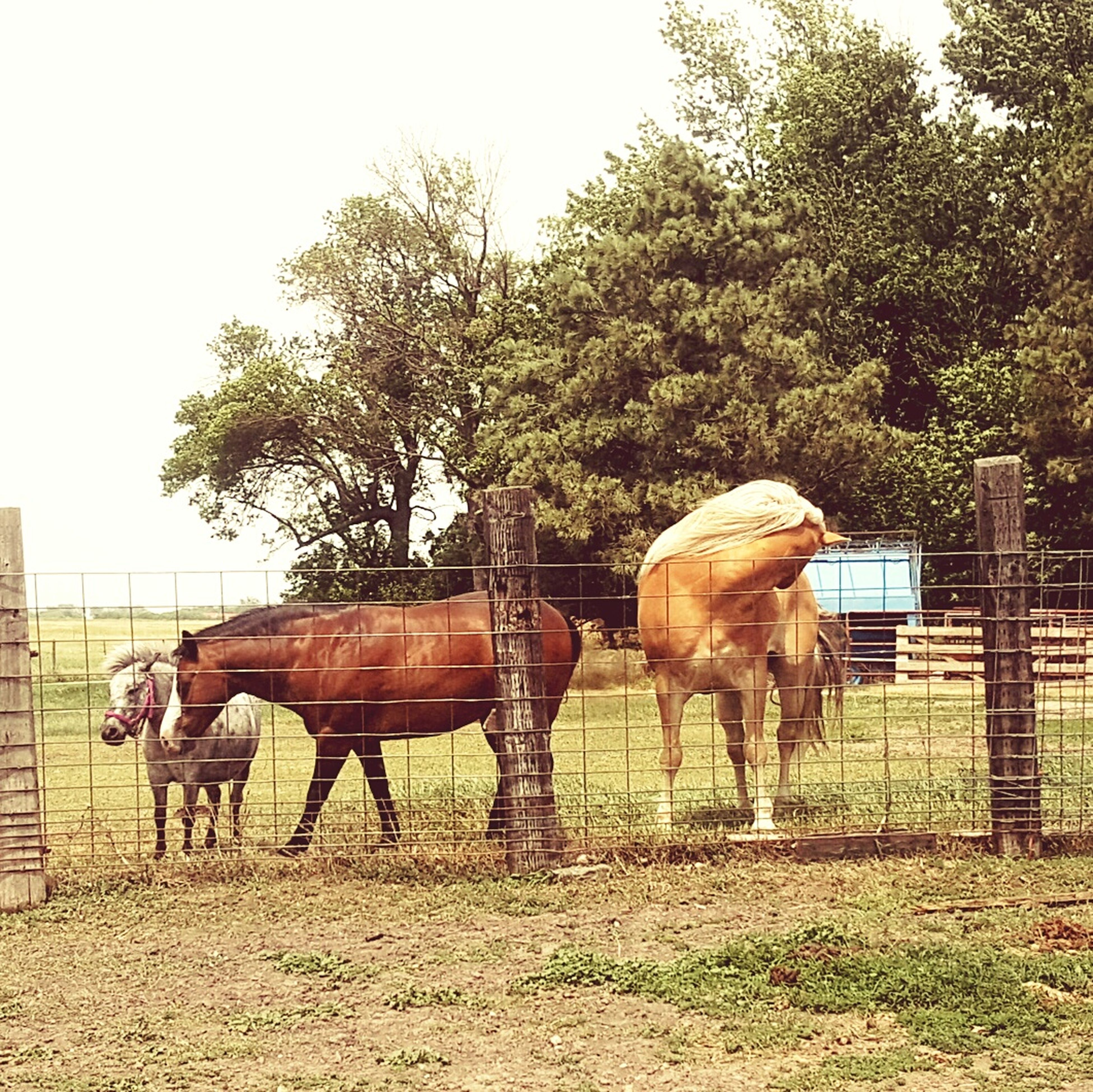 animal themes, horse, livestock, mammal, herbivorous, tree, domestic animals, field, working animal, fence, standing, grazing, cow, two animals, sky, landscape, grass, nature, ranch, medium group of animals