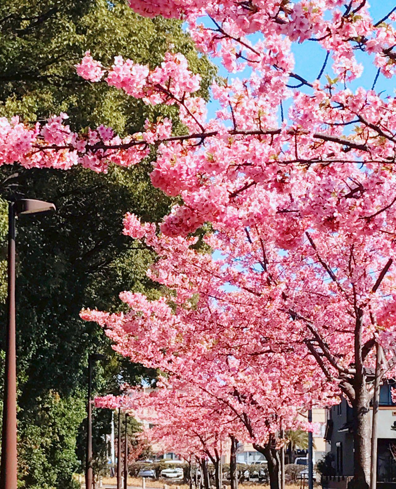 河津桜 桜 Cherry Blossoms Season  Spring 春 四季 ピンク Pink Color Pink Pink Flower Flower 花 空 Sky