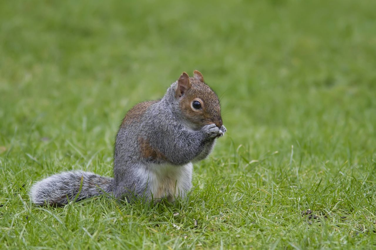 Beautiful stock photos of squirrel, Animals In The Wild, Day, Feeding, Full Length