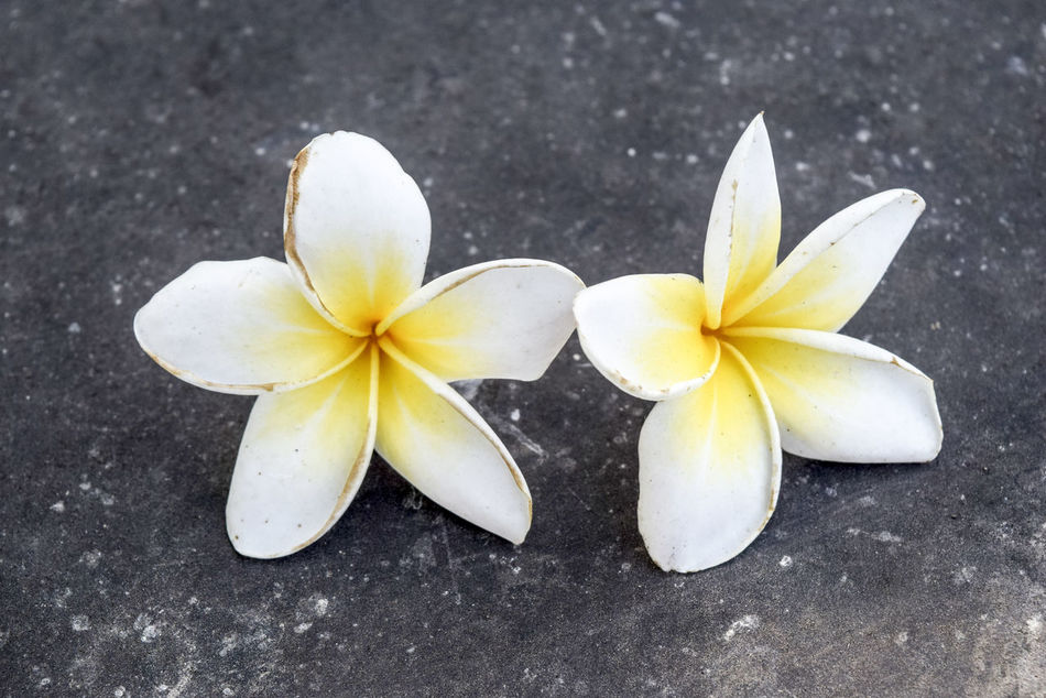 Beauty In Nature Close-up Day Flower Flower Head Fragility Frangipani Freshness Nature No People Outdoors Petal White Color
