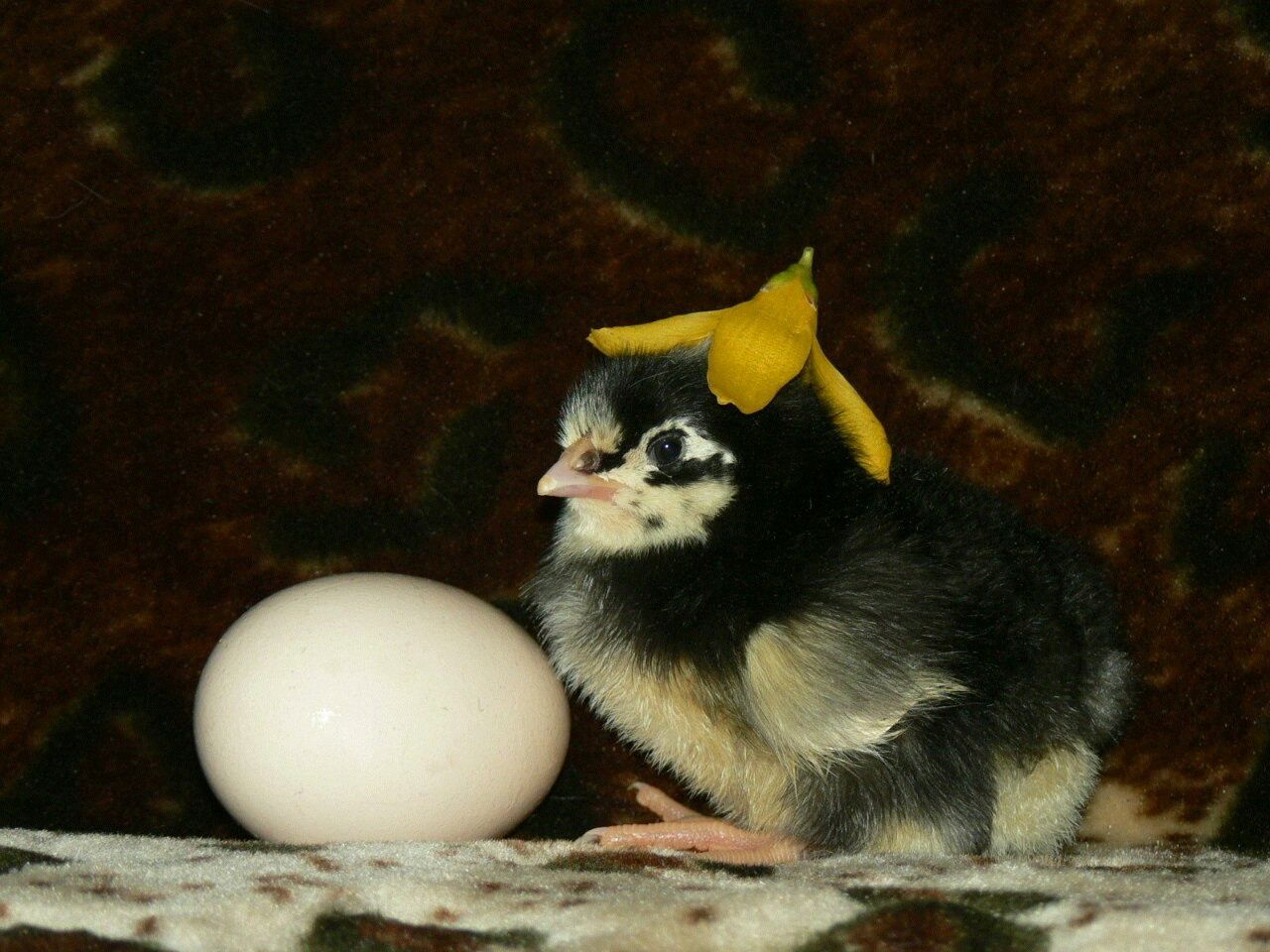 цыпленок цветок  желтый черный яйцо ребенок мальчик петушок