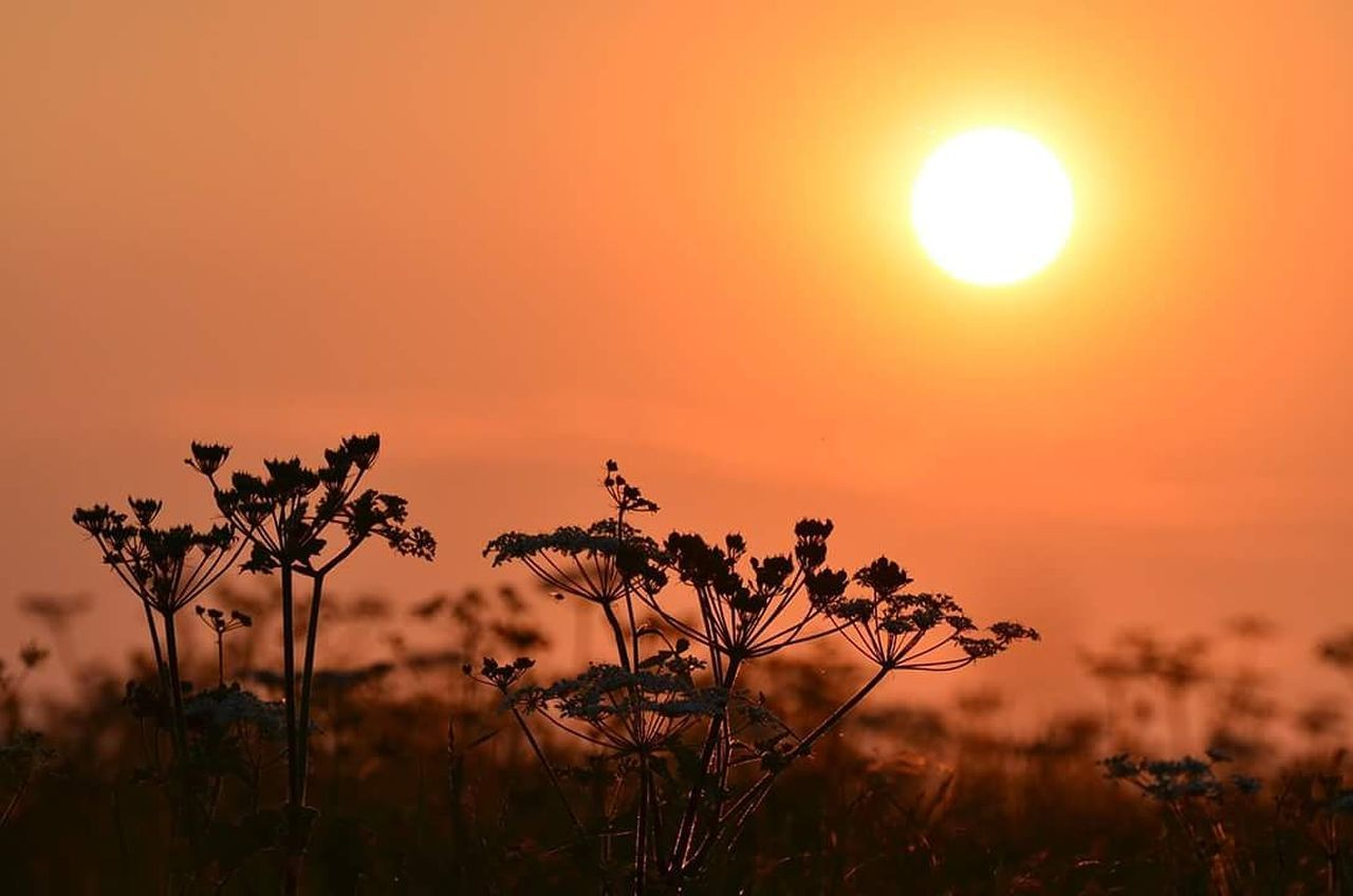 sunset, nature, beauty in nature, sun, orange color, plant, growth, scenics, outdoors, sunlight, tranquil scene, tranquility, field, flower, uncultivated, landscape, no people, tree, silhouette, sky, rural scene, grass, fragility, flower head, close-up, day, freshness