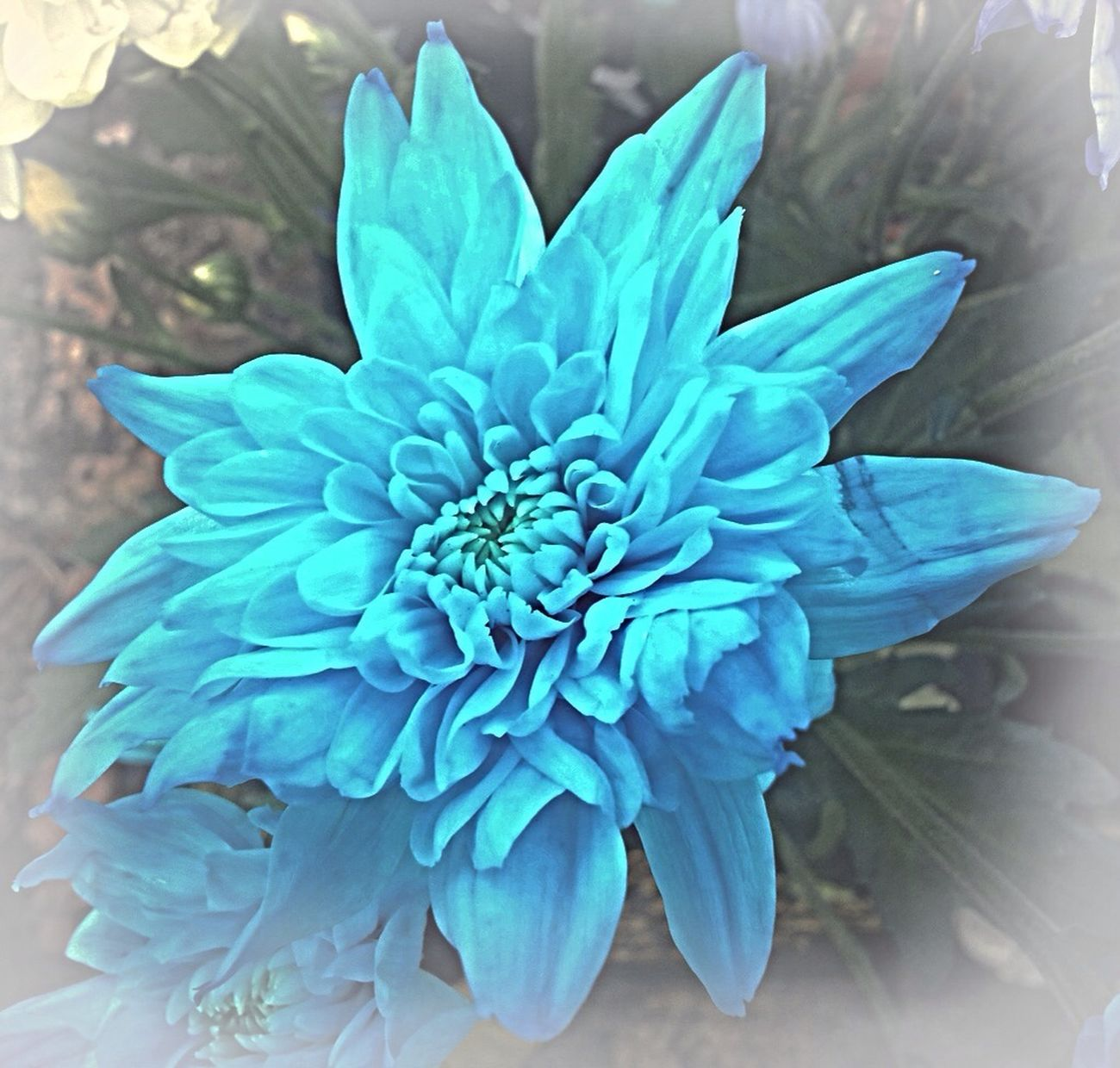 Blue Flowers Flower Collection Good Morning! Blue Color Chrysanthemum Vignette