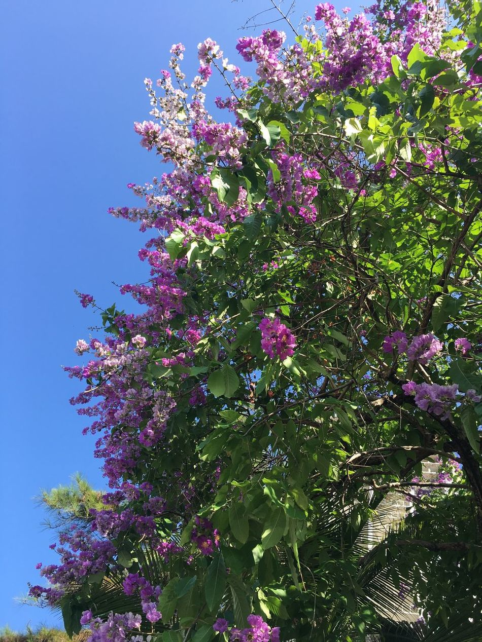 Growth Flower Tree Low Angle View Nature Beauty In Nature Freshness Fragility Branch Blossom Pink Color Blooming Outdoors Close-up Day Lilac Sky First Eyeem Photo Summer Vibes EyeEm Nature Lover EyeEm Best Shots - Nature Eyem Gallery EyeEmNewHere