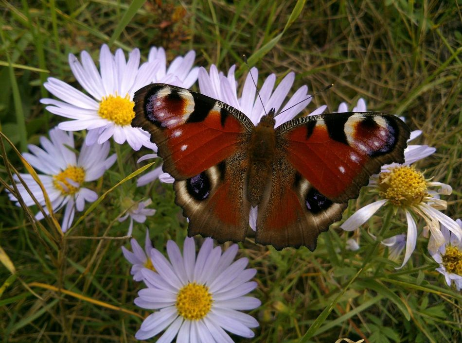 There's no any photo editing. Без фоторедактирования. павлиний глаз на ромашках. The Emperor Moth on the blue Ox-eye Daisies. Chamomiles Camomiles Papillon Paon August Butterfly Balancing Act