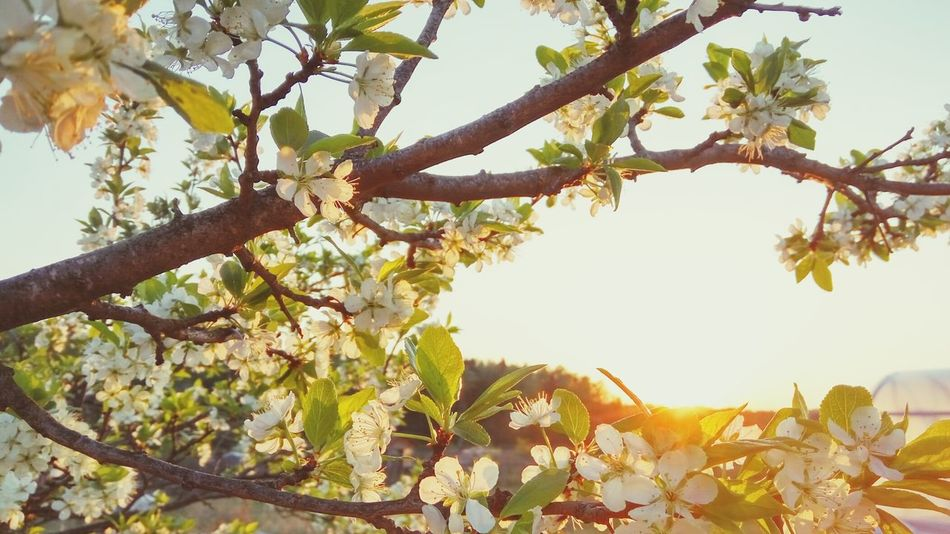 Tree Branch Sunset Sunlight Nature Low Angle View No People Sky Growth Outdoors Beauty In Nature Day Apple Flowers Photography Suun🌞 Beautiful Beauty In Nature Photo Nature