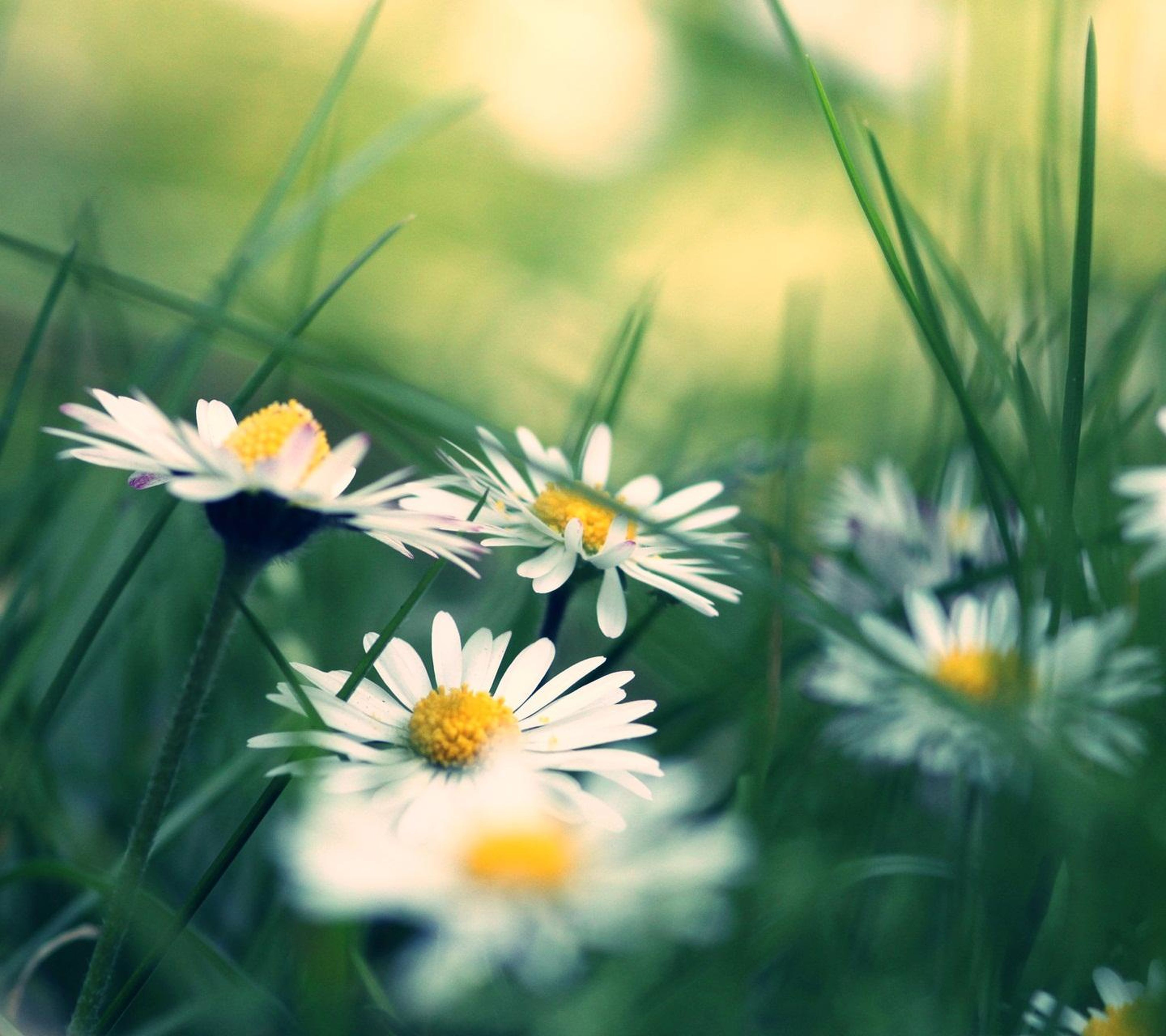 flower, freshness, fragility, growth, petal, flower head, beauty in nature, plant, nature, blooming, focus on foreground, yellow, close-up, white color, stem, daisy, field, selective focus, in bloom, wildflower