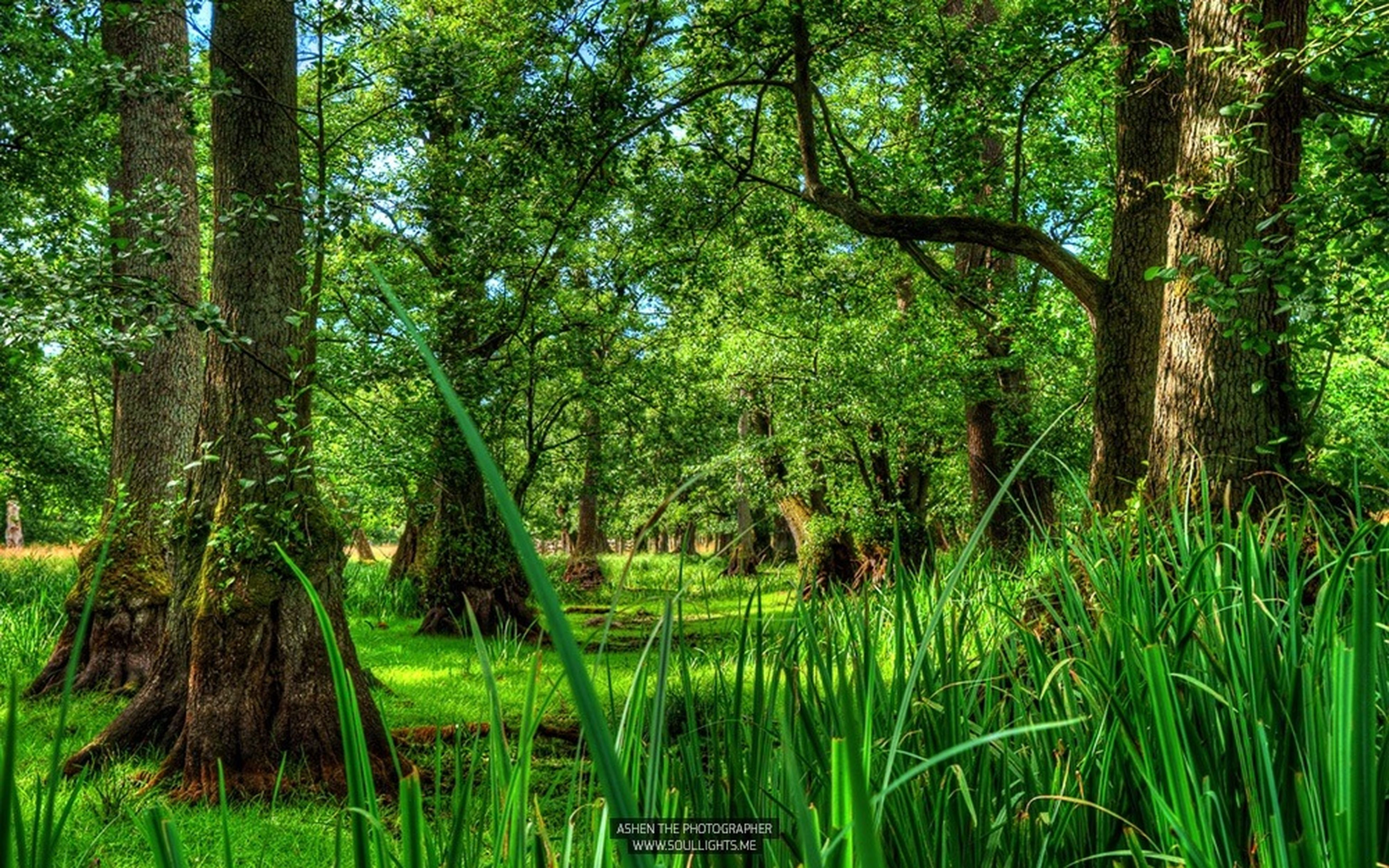 tree, green color, growth, tranquility, tranquil scene, forest, nature, beauty in nature, lush foliage, scenics, tree trunk, grass, woodland, green, landscape, plant, idyllic, branch, non-urban scene, growing