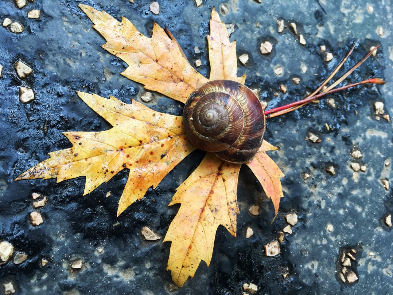 Exploring Style Leaf Snail Autumn Animal Themes High Angle View Nature Outdoors No People One Animal Fragility Change Close-up Day Animals In The Wild Gastropod Pavement Concrete After Rain Nature On Your Doorstep