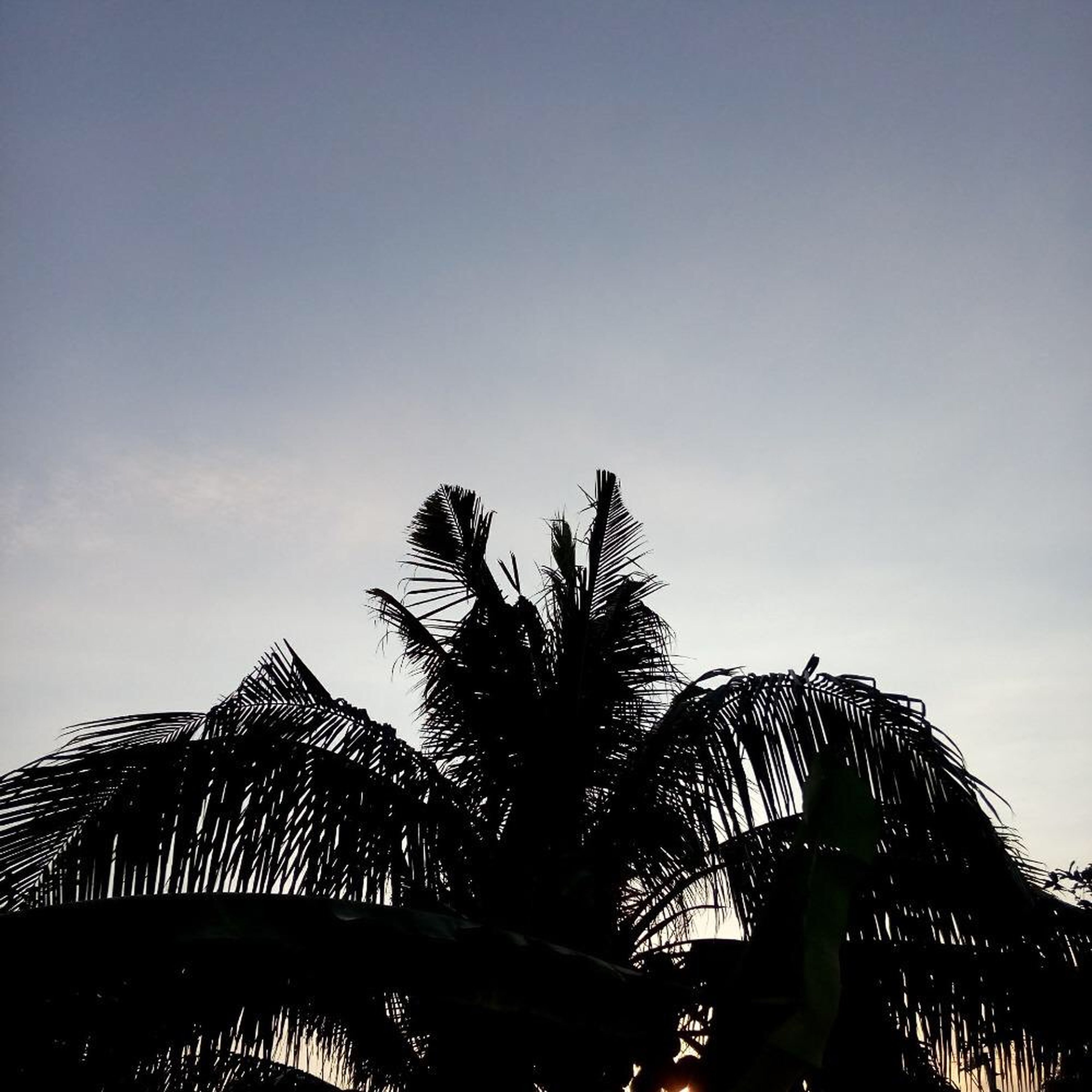 low angle view, tree, palm tree, clear sky, silhouette, sky, copy space, growth, nature, tranquility, branch, built structure, beauty in nature, outdoors, blue, architecture, no people, scenics, high section, dusk