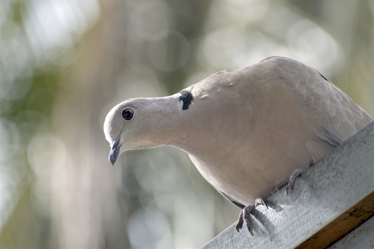 Beautiful stock photos of dove,  Animal Themes,  Animal Wildlife,  Animals In The Wild,  Bird