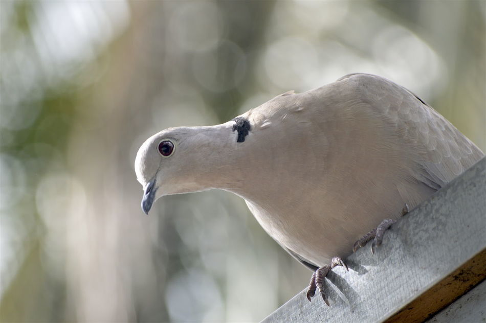 Beautiful stock photos of dove,  Animal Themes,  Animal Wildlife,  Animals In The Wild,  Bird