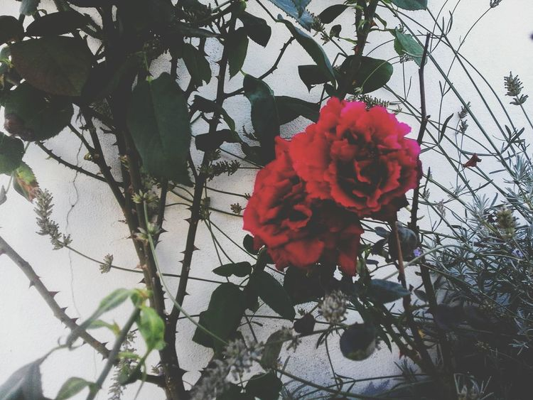 Flowers... Rose🌹 Flower Red Nature Fragility Rose - Flower Botany Single Flower Beauty In Nature Nature Photography Leiria Portugal Amateurphotography