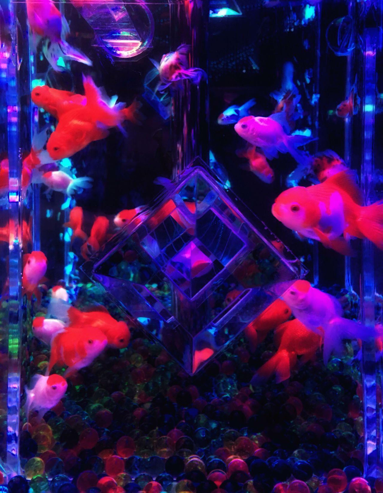 アートアクアリウムの世界で Multi Colored Swimming Large Group Of Animals Animal Themes Aquarium No People Indoors  Sea Life Day First Eyeem Photo