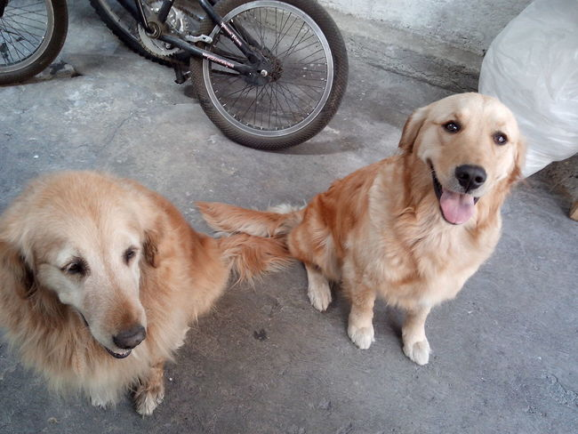 Golden Retriever Dogs Beautiful ♥