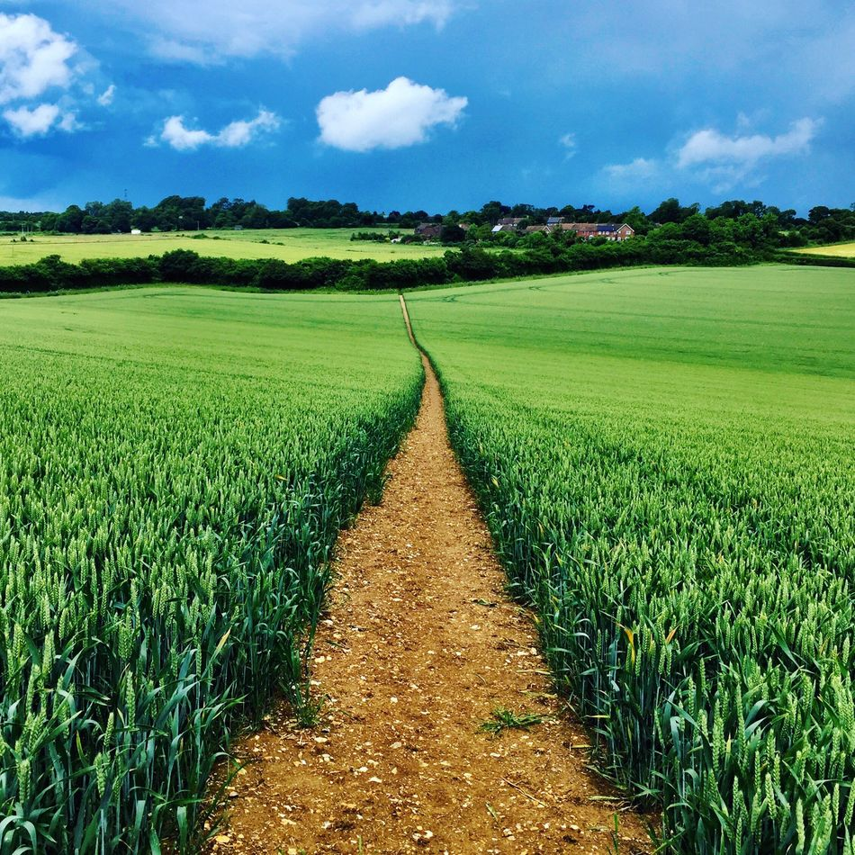 Path across the field Agriculture Field Farm Rural Scene Growth Cloud - Sky Sky Landscape Crop  Green Color Beauty In Nature Nature Tranquility Tranquil Scene Scenics Cereal Plant Outdoors Day No People Rice Paddy