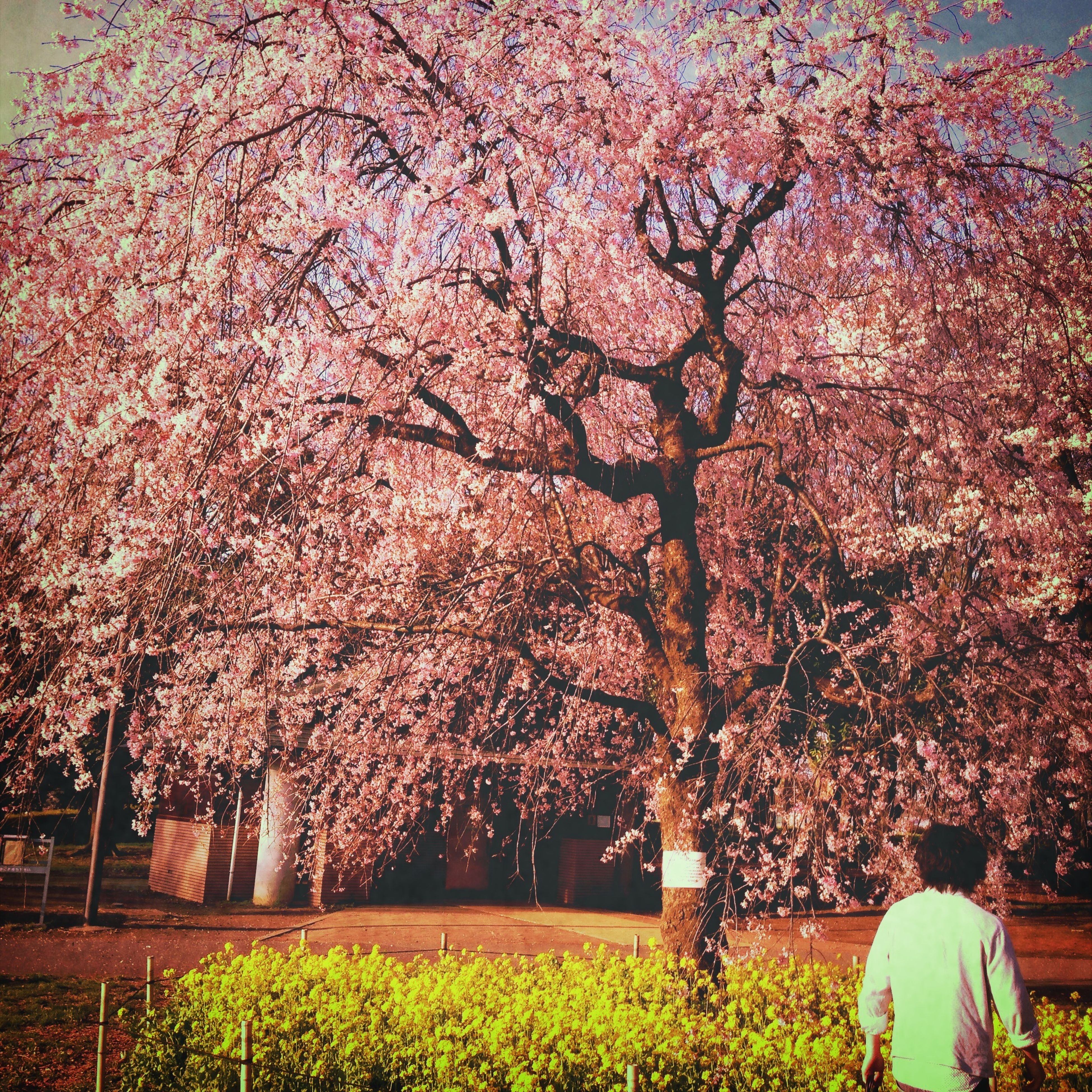 flower, tree, growth, freshness, nature, branch, park - man made space, beauty in nature, fragility, lifestyles, pink color, blossom, plant, person, cherry tree, springtime, outdoors, in bloom