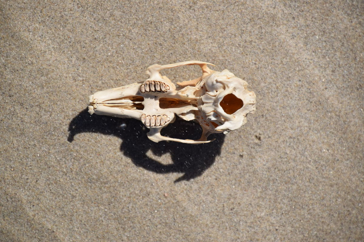 Sand High Angle View Beach No People Outdoors Day Close-up Zeeland  Nederland EyeEmNewHere EyeEm Selects Skeleton Skull Rabbit Rabbit Skull