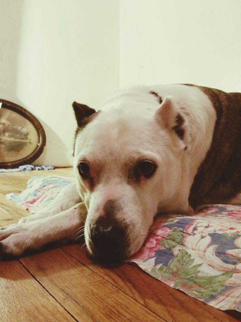 My buddy Dog Mialia Dogsiveknown Destructotail Austin,tx