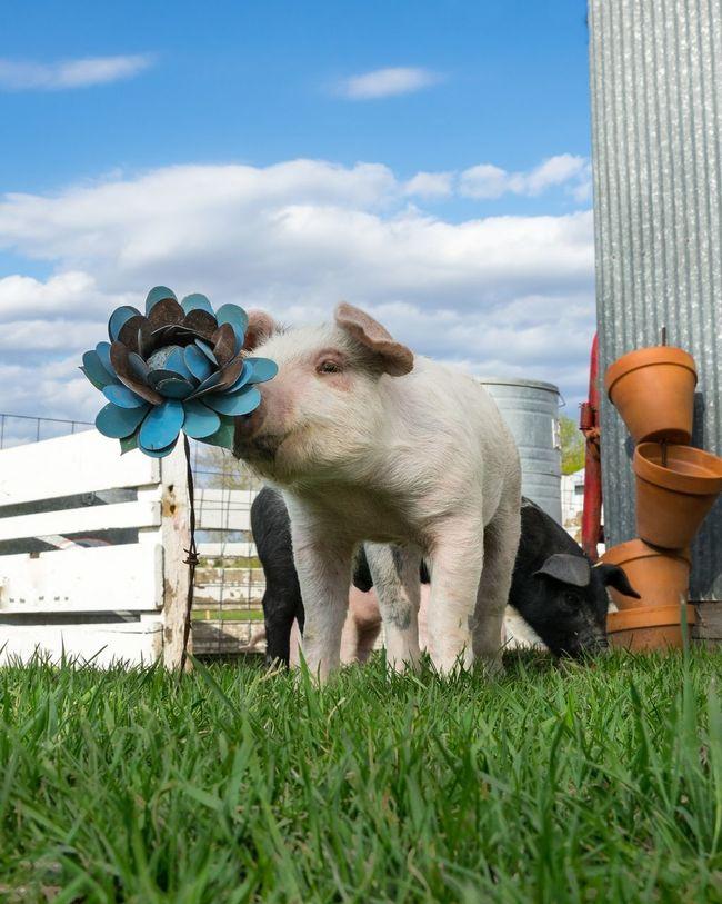 Smelling A Flower Animal Themes Domestic Animals Flower Grass Livestock Mammal One Animal Pig Pig Smells