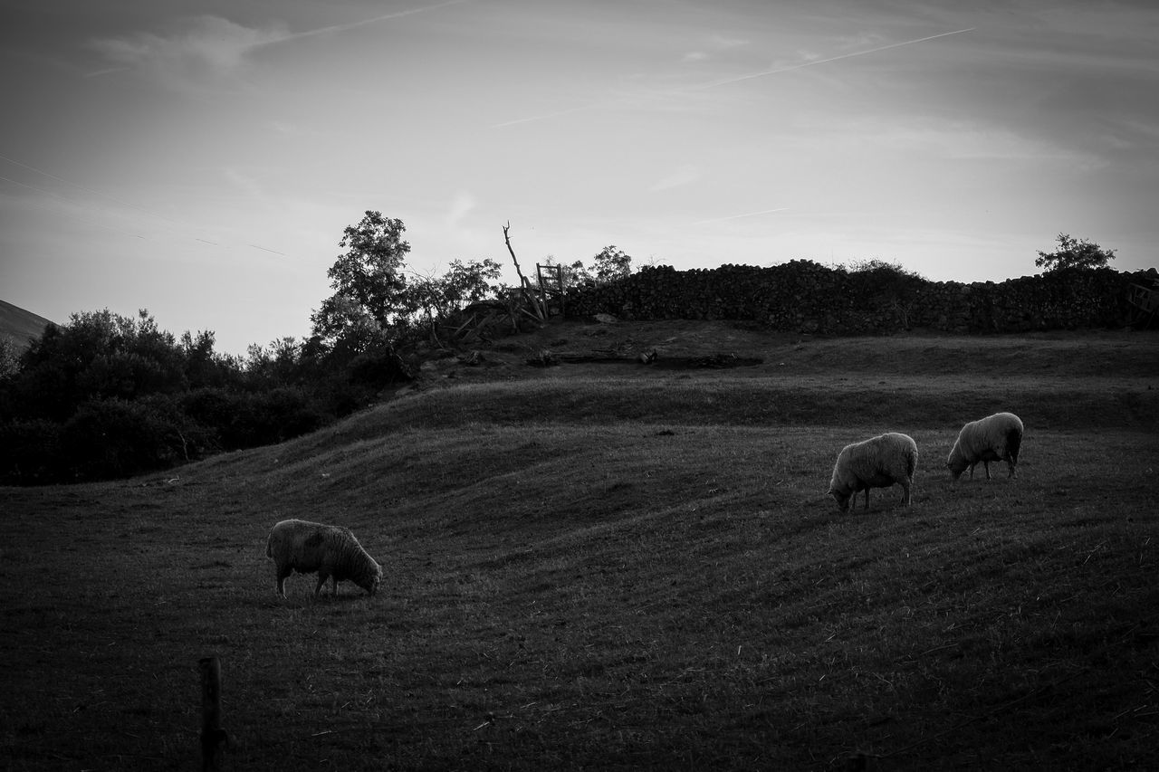Animal Themes Animals In The Wild Beauty In Nature Black And White Blackandwhite Blackandwhitephoto Day Domestic Animals Field Full Length Grass Grazing Landscape Landscape_Collection Landscape_photography Livestock Mammal Nature No People One Person Outdoors Sky Tranquil Scene Tranquility Tree