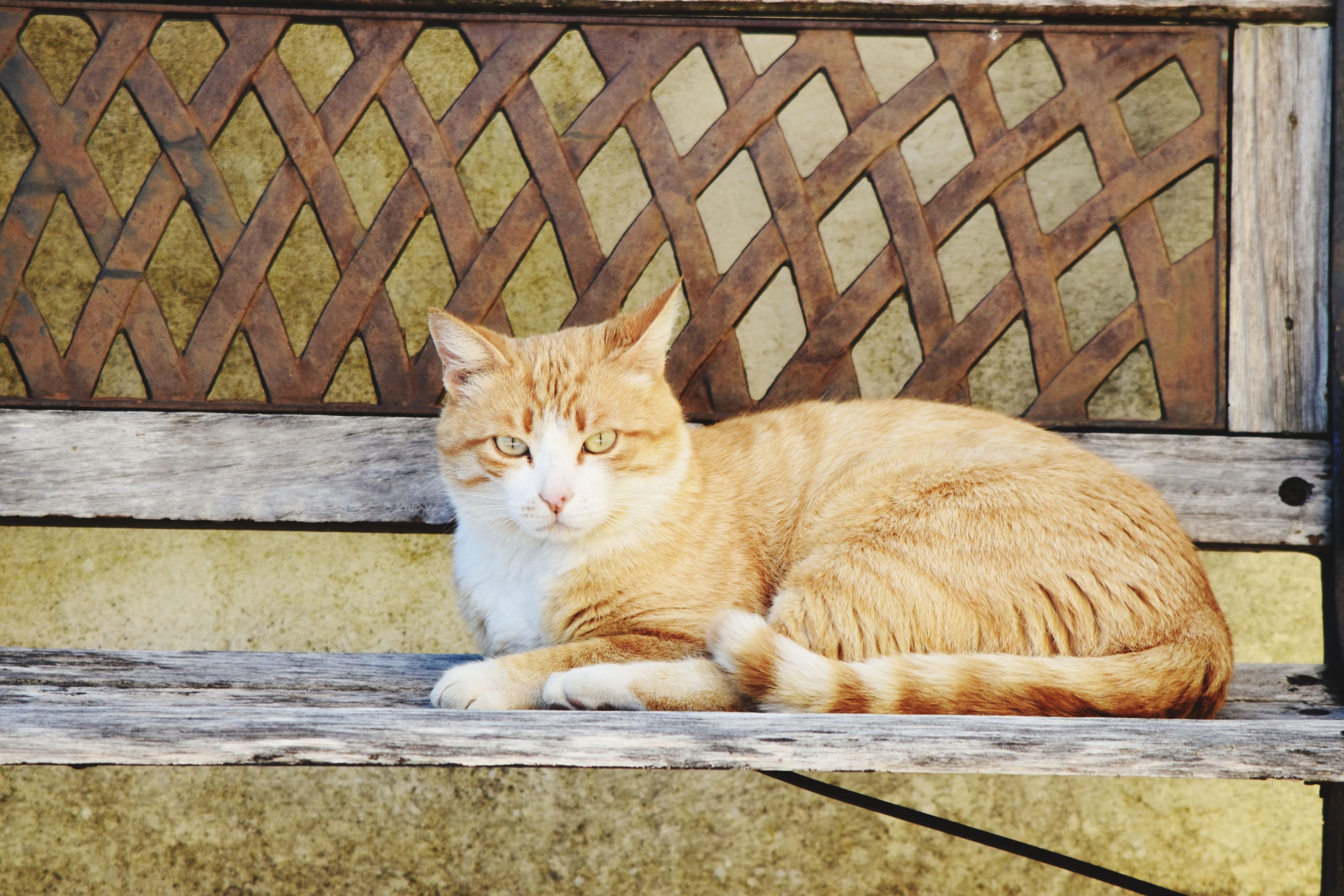 domestic cat, one animal, animal themes, pets, feline, domestic animals, mammal, no people, day, outdoors, relaxation, sitting, ginger cat, portrait, close-up
