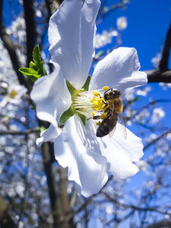 Beauty Mothernature Natureporn Nature Beauty In Nature Sky Flowers Picoftheday Bee 🐝 White Flower